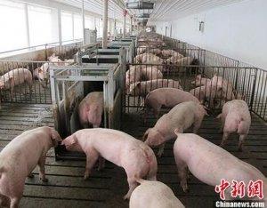 农业农村部谈非洲猪瘟防控:应主动放弃泔水喂猪