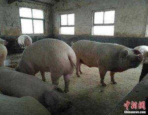 经济欠发达地区如何防控非洲猪瘟疫情?农业农村部回应