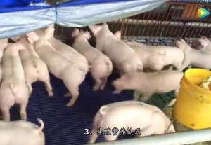 母猪产死胎是怎么回事,母猪产死胎的主要原因