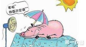 【技术】六种急救法治疗夏季猪中暑