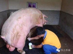 """如何有效把握母猪""""配种适期"""",提高受胎率"""