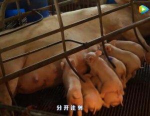 猪链球菌腿肿用什么药,猪链球菌关节炎治疗!