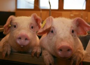不要对非洲猪瘟过于恐慌
