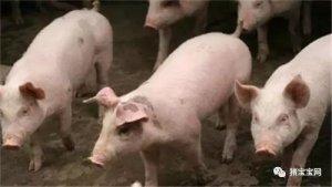 仔猪怎么进行转群?仔猪转群的时候如何避免应激?