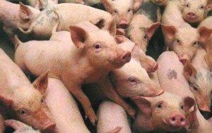 非瘟疫苗取得新进展,小农户养殖有了新出路!