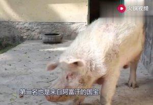 """世界各国""""国宝""""排行榜,阿富汗的国宝是中国赠送的一只猪"""