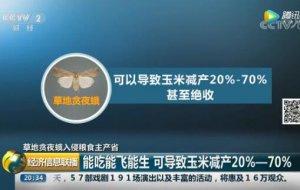 """""""行军虫""""入侵我国20个省区市 一只幼虫毁一株玉米?"""