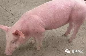 猪场发生高热了,是发生非洲猪瘟了吗?养殖朋友第一反应是什么?