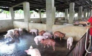 夏天不能给猪泼冷水?那要怎么降温呢?