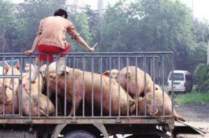 生猪存栏削减后肉价暴涨21.1% !美国生猪库存增加4%?