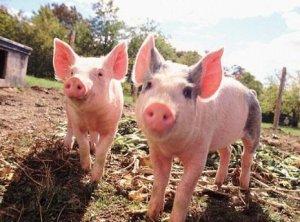 中科院广州生物院:首次在猪身上实现多位点单碱基编辑