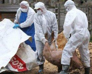 柬埔寨因非洲猪瘟近八百头生猪被销毁千余头生猪死亡