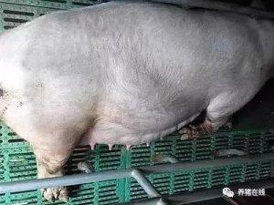 母猪产前工作谨记:这5点哪个也不能马虎!