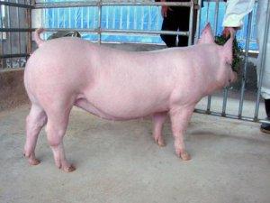 如何驯化后备母猪,这篇文章讲得透彻 (收藏)
