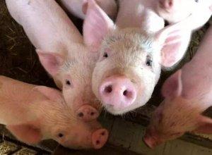 江西:新干推进生猪生态养殖