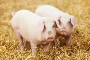与猪结缘 勤劳致富