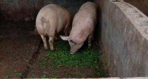 夏季高温对妊娠母猪有何危害?如何避免高温对妊娠母猪的