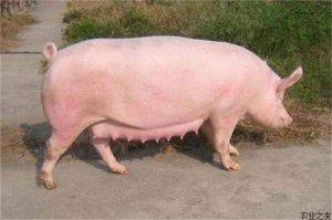 母猪这样养,再也不怕没奶水