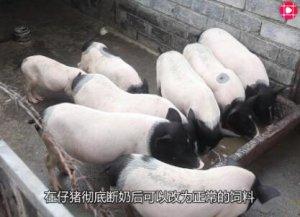 农民养猪,仔猪长的快就赢在起跑线上,两点做到位,想不赚钱都难