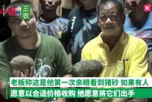 泰国:养猪场宰400斤老母猪 挖出4斤猪宝价值超400万