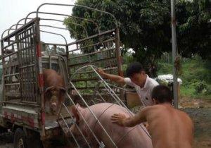 小妹卖猪九块一一斤,三头就七千多块钱,全家都笑着合不拢嘴