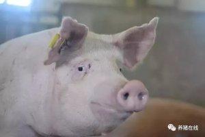 【管理】九步!只要九步,轻松搞定后备母猪管理