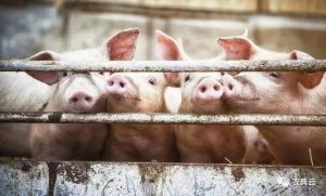 防控非洲猪瘟20条实用建议!