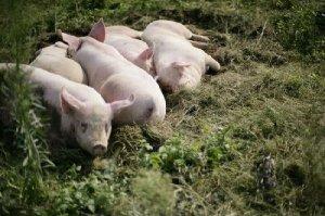 雷声财规模养猪带领村民致富
