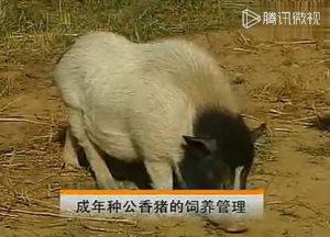 香猪养殖职业技术教学:工作人员进入猪场前,要严格消毒!