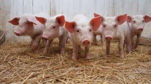 断奶仔猪治疗型药物的选择