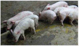 养猪人必须解决的令人头疼的6个猪场问题!
