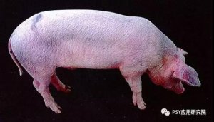 非洲猪瘟第一帮凶――蓝耳