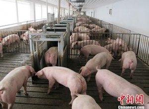 重大调整!跨省调运种猪必须100%非瘟检测,口蹄疫、猪瘟、蓝耳、圆环、布病等取消实验室检测!