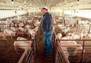 中国买家取消4513吨美国猪肉订单,美国928个农场或破产