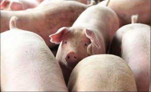 小肥猪选育留种的三大误区
