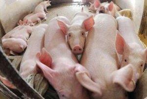 猪价飙升!30头猪竟得