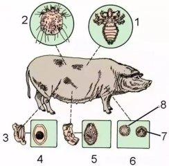 动物防疫法要求预防、控制和扑灭这类猪病,但常被忽略!附综合防控措施