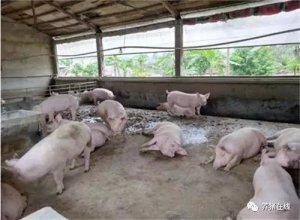 【技术】猪场常用的5类催情产品的正确使用方法,值得收藏!