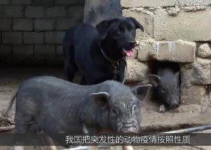 猪瘟爆发!距离我国一万公里的非洲猪瘟,到底是怎么传过来的?
