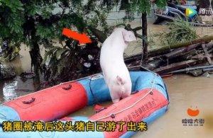 """洪水来袭猪圈被淹,""""二师兄""""坐皮划艇得救"""