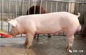 养猪技术,很少人知道的养猪省料小妙招!