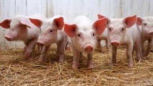 农村养猪的小妙招,低成本高效养猪技术,值得养猪户收藏!