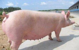 技术丨夏季母猪常见的问题及处理方法