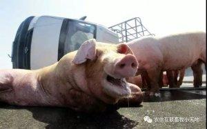 猪热应激的症状以及预防措施