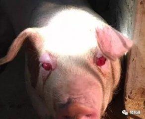 猪得了红眼病真可怕,老兽医教你轻松解决