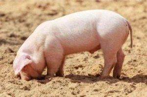 猪吃土不吃料,甚至还吃仔猪?这是猪有疾病的表现!需要这样做