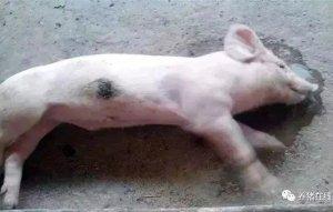 【技术】猪身上为什么会发紫?哪些疾病会导致猪发紫?