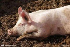 一个猪倌的养猪致富故事:良心,带给了他所有