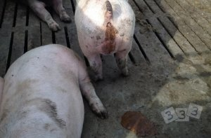 育肥猪停止进食而体况下降,肛门周围很脏。原因是什么?