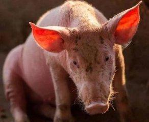 警惕!临近我国边境的一农场发生非洲猪瘟!该农场生猪放养,与野猪亲密接触!